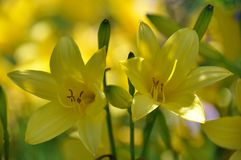 Lilly jaune Image stock