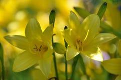 Lilly jaune Image stock