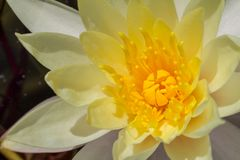 lilly kwiatu szczegół Zdjęcia Royalty Free