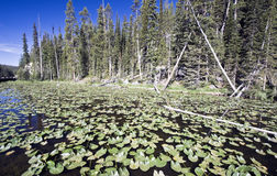 Lilly Lake in Yellowstone Stock Image