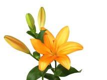 lilly orange Royaltyfri Fotografi