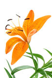 Lilly orange Image libre de droits