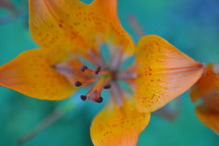 Lilly orange Photo stock