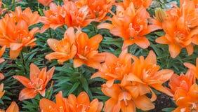 Lilly orange image libre de droits