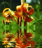 Lilly. Orange lilly in forest Royalty Free Stock Image