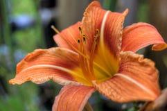 lilly orange tiger Arkivbilder