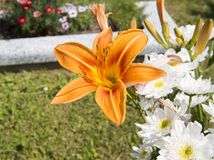 lilly orange tiger fotografering för bildbyråer