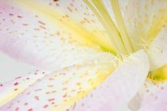 lilly orientalisk pink Arkivfoto
