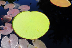 Lilly pad Royalty Free Stock Photos