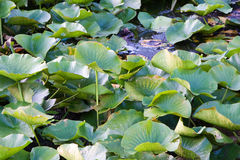 Lilly pad leafs background Royalty Free Stock Photography