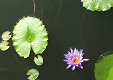 Lilly Pad and Lotus flower in Dajia, Taiwan. Lilly pads and purple and yellow lotus flower in Dajia, Taiwan Royalty Free Stock Image
