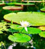 Lilly Pad nello stagno del giardino di inverno fotografia stock