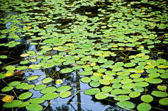 Water Lilly Pad Pond Stock Image