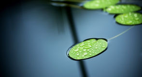 Lilly Pad Pond. Bright green lilly pad's cover the surface of a pond stock image