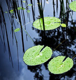 Water Lilly Pad Pond. Bright green water lilly pads cover the surface of a pond royalty free stock image