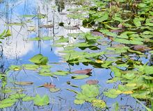Lilly Pad Pond Storm Water Immagini Stock