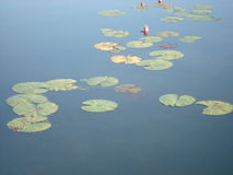 Lilly Pads Royalty Free Stock Photography