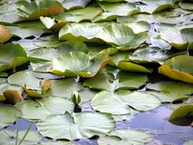 Lilly Pads Royalty Free Stock Photos