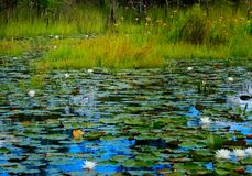 Lilly pads on blue Water Stock Photography