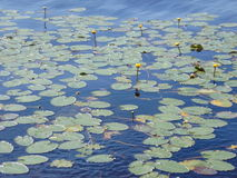 Lilly pads Royalty Free Stock Photo