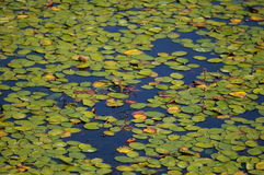 Lilly pads. Dominate this pond were frogs thrive Stock Photography