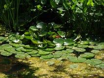 Lilly Pads en el agua Foto de archivo libre de regalías