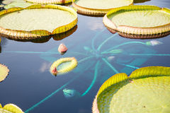 Lilly Pads and Exotic Flowers. Large green lilly pads in a dark blue pond with exotic flowers stock photos