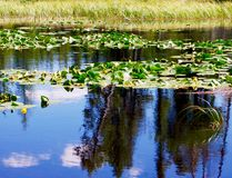 Lilly pads floating on a mountain lake. Stock Images
