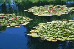 Lilly pads floating in pond Stock Photo