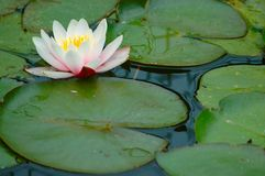 Lilly Pads with flower. Color photo of a flower on lilly pads royalty free stock photography