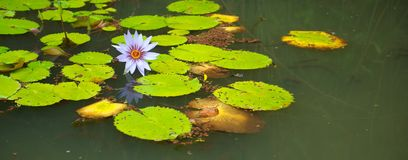 Lilly Pads and Flower in Pond Stock Photos