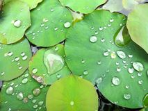 Lilly Pads Glistening With Water Stock Photos