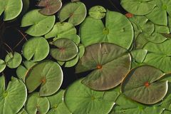 Lilly Pads. Green lilly pads overlapping on pond stock photography
