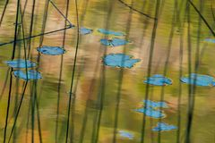 Lilly pads. Bath in the warm sun of the tarns Stock Image