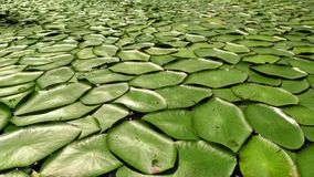 Lilly pads Stock Images