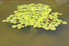 Lilly pads and lotus flowers at The Gardens and Villa Ephrussi de Rothschild, Saint-Jean-Cap-Ferrat, France Stock Photo