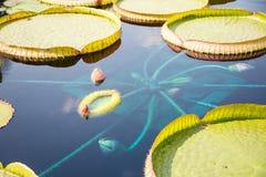 Lilly Pads och exotiska blommor Arkivfoton