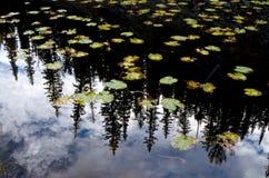 Lilly Pads och sörjer trädreflexion i den Yellowstone nationalparken Arkivbilder