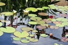 Lilly Pads på vatten Arkivfoton