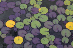 Lilly pads on a pond. Nymphaea Lilly pads pattern on a pond Stock Photography