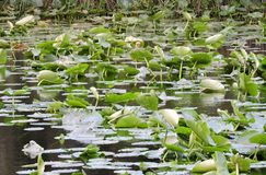 Lilly Pads. On a small creek are thick throughout the body of water royalty free stock images