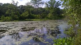 Lilly Pads sur la rivière Photos stock