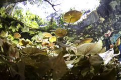 Lilly pads  from underwater Stock Photos