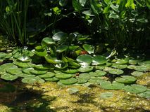 Lilly Pads on Water Royalty Free Stock Photo