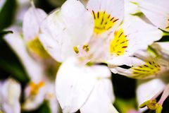 lilly peruan royaltyfri foto