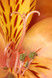 lilly peruan Arkivbild