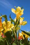 Lilly peruano Imagem de Stock Royalty Free