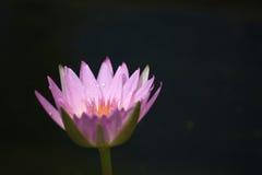 lilly pink Royaltyfri Bild