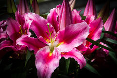 lilly pink Royaltyfri Fotografi