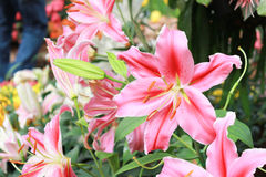 lilly pink Arkivfoton